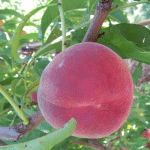 Greenbluff peaches 5