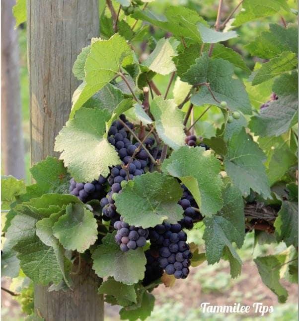 Icicle Ridge Winery, Leavenworth, Washington