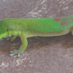 Green Hawaiian Lizard