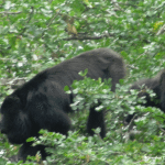 Belize-Howler-Monkeys.png