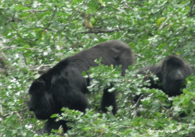 Belize-Howler-Monkeys.png