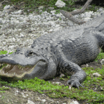 Everglades-National-Park-Gator-Smile.png