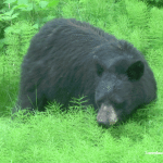 Golden-Princess-Juneau-Black-Bear.png