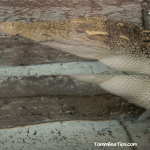 Mandalay-Bay-Shark-Exhibit-Alligator.png