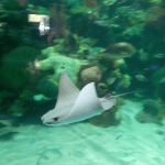 Tanked-Aquarium-Silverton-Casino-Sting-Ray.png