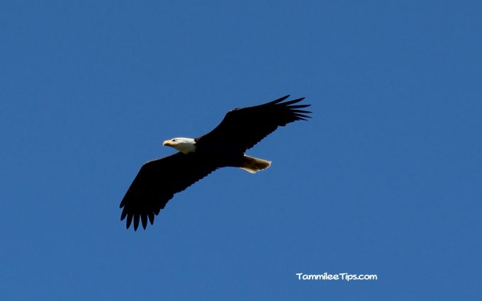 Bald Eagle San Juan Islands