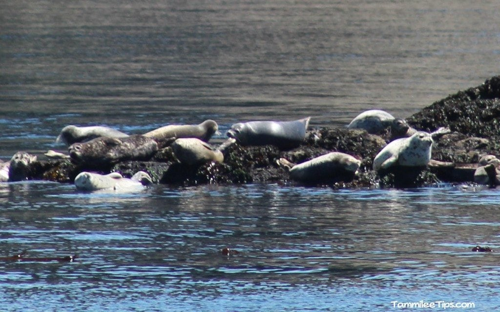 Harbor Seals San Juan Excursions Whale Watching Trip