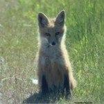 San Juan Island Baby Fox