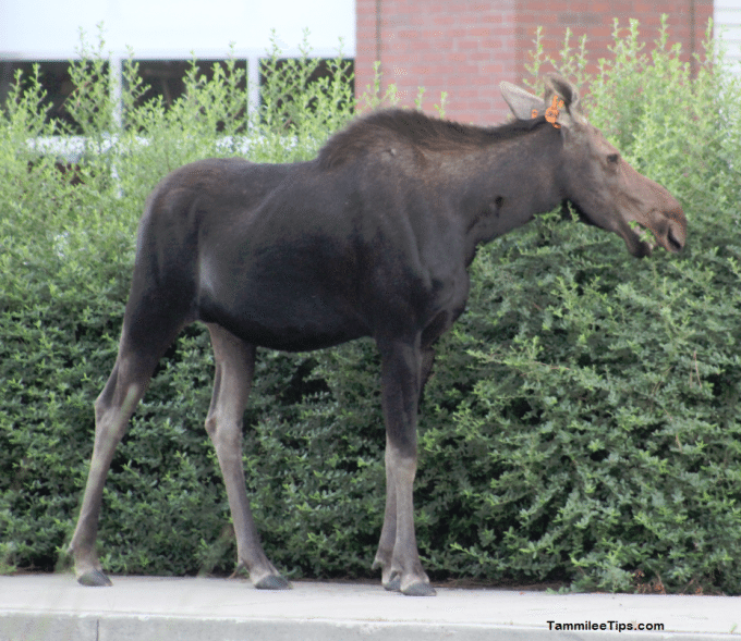 Moose on the Loose in Spokane 4