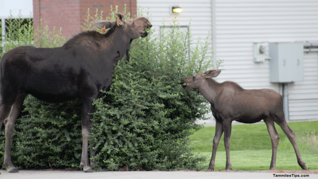 Moose on the Loose in Spokane 5