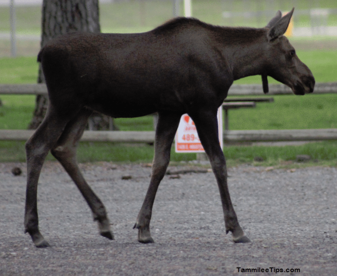 Moose on the Loose in Spokane 8