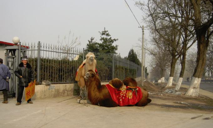 Bite, Spit or Split in Half on a camel in Beijing China