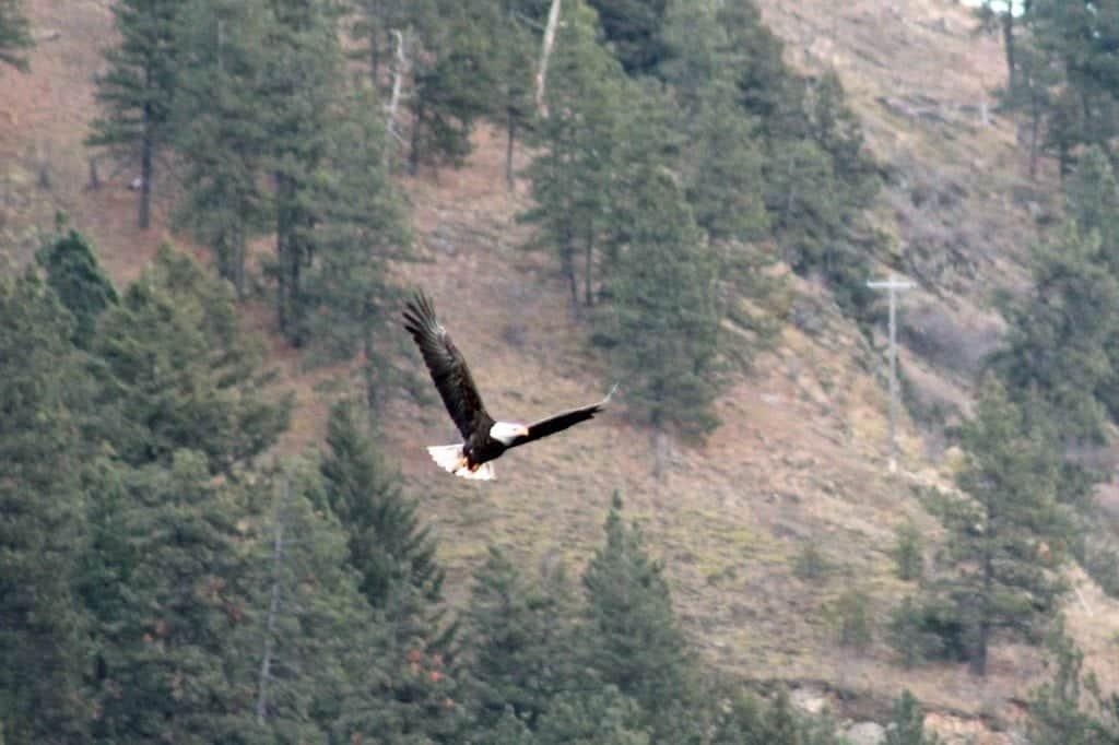 Lake Coeur d'Alene Bald Eagle Watching
