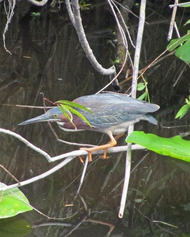 Heron Everglades National Park