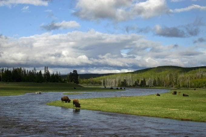 Bison-in-river.jpg