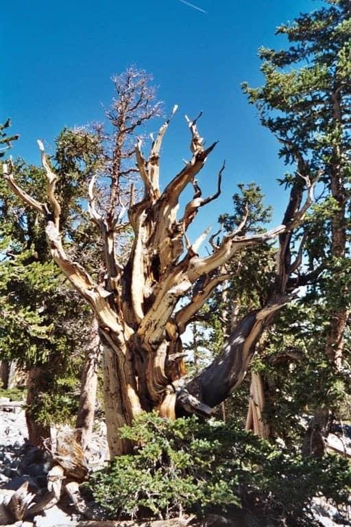 Bristlecone-Pine-Forest.jpg