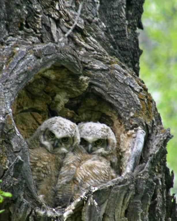 baby-owls.jpg