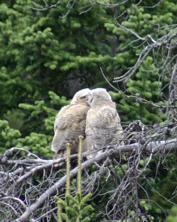 kissing-owls.jpg