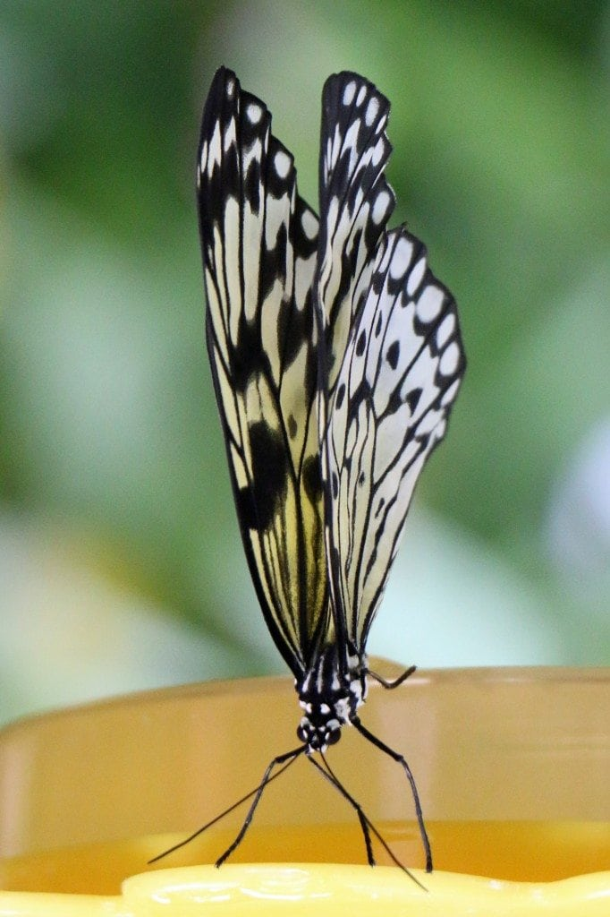 butterfly eating