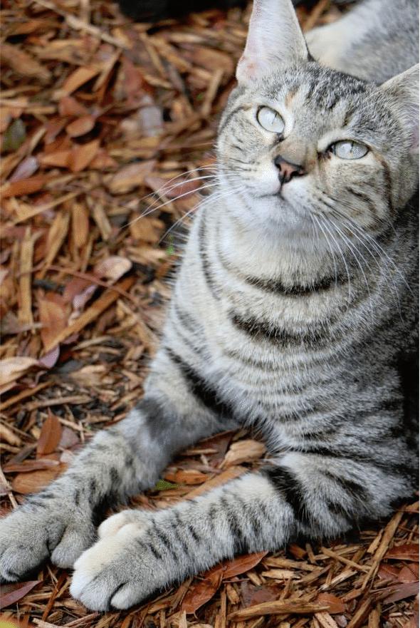 ernest heminway cat