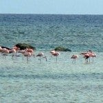 Flamingos in Grand Turk