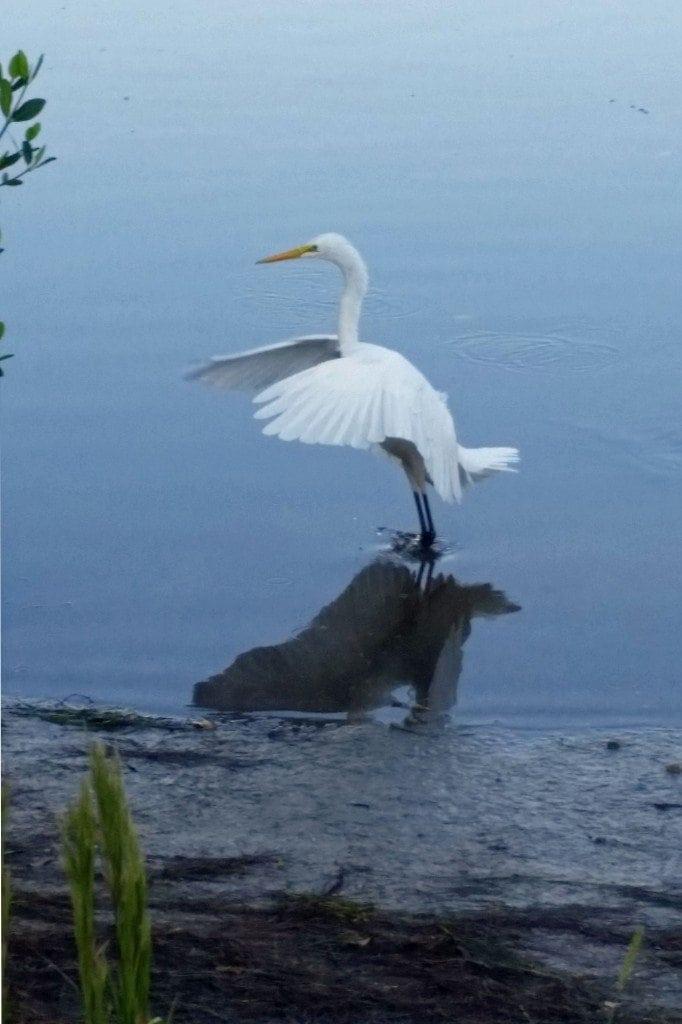 Great Egret at JN Ding Darling NWR