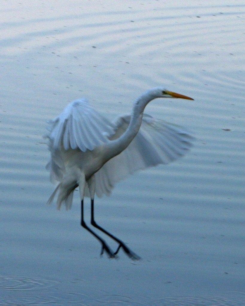 great egret landing at JN Ding Darling NWR
