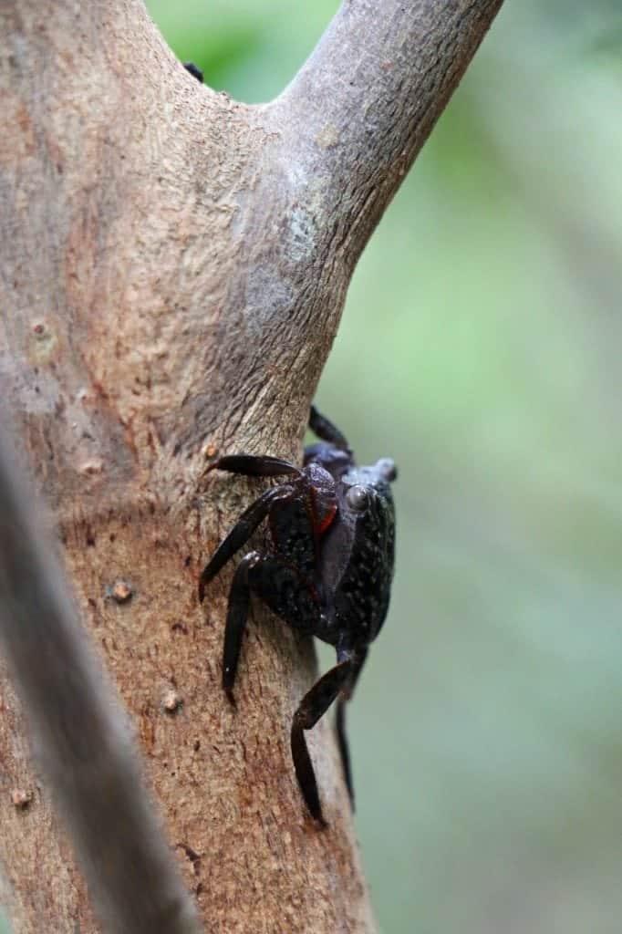tree crab at JN Ding Darling NWR