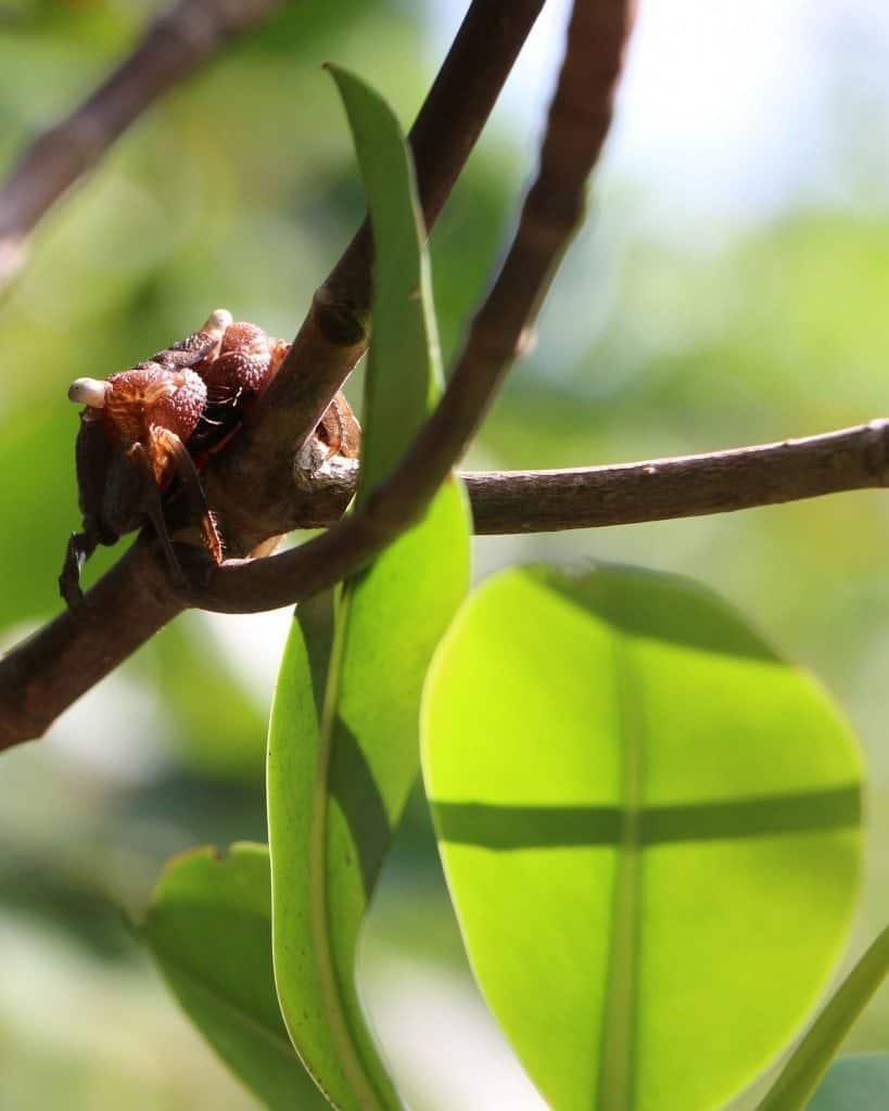 tree crab on tree at JN Ding Darling NWR