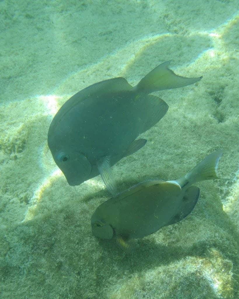 2 fish while snorkeling in Aruba