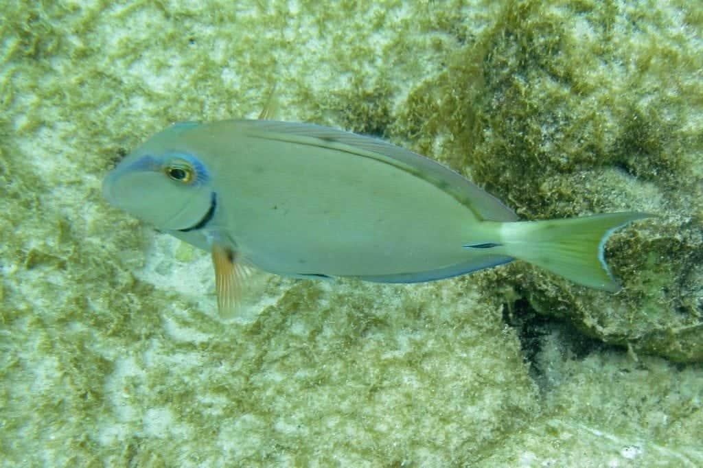 Aruba fish snorkel