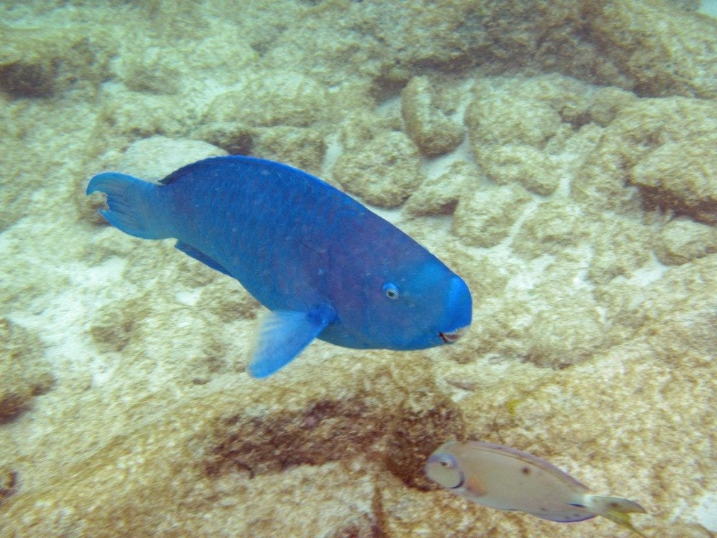 Blue Fish snorkeling Aruba