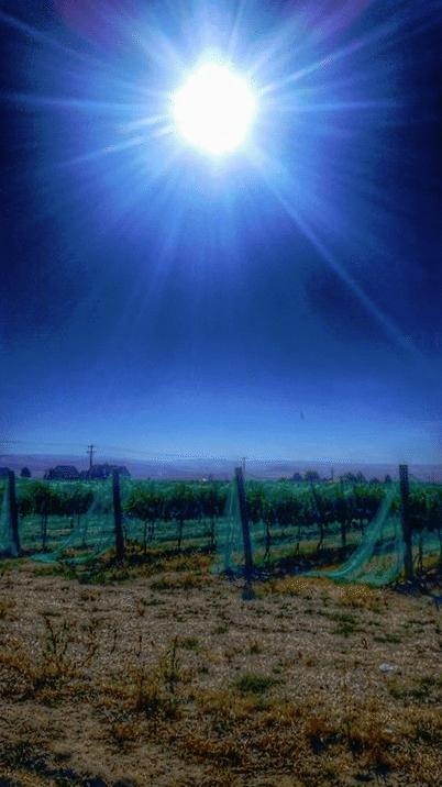 Walla Walla Grape Vines