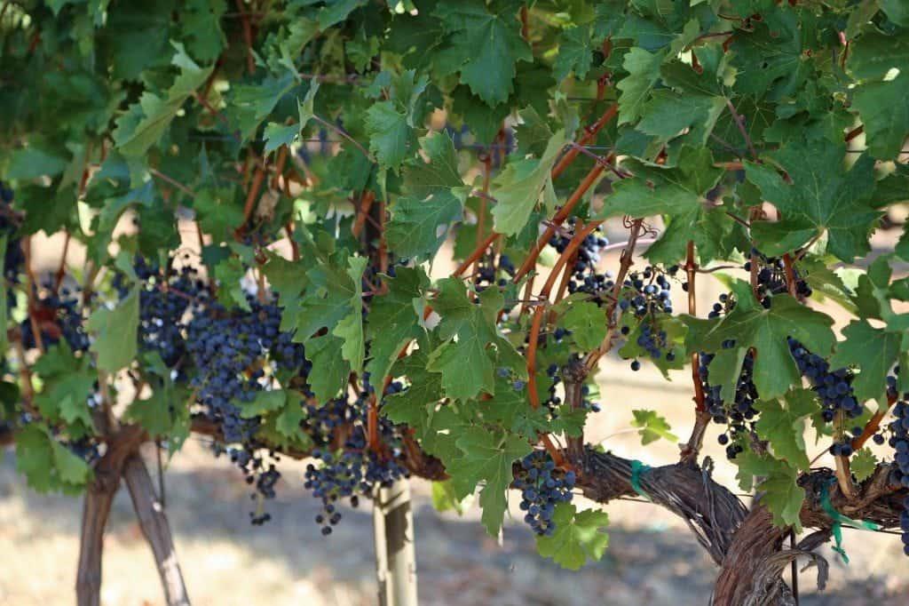 grapes on the vine Walla Walla Vineyard