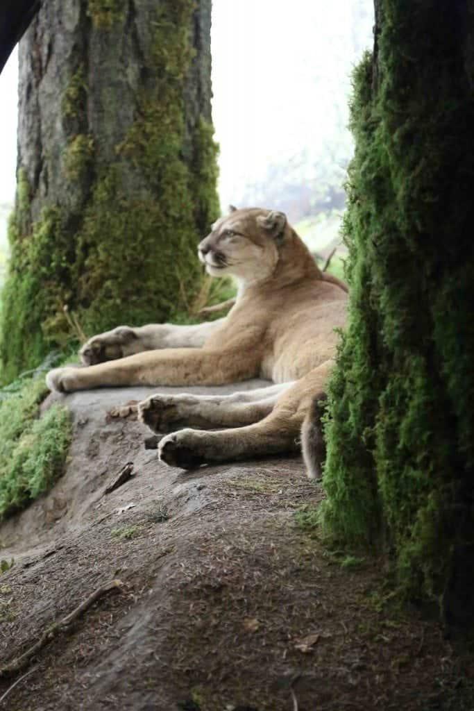 Blog Cougar at Royal BC Museum Victoria BC