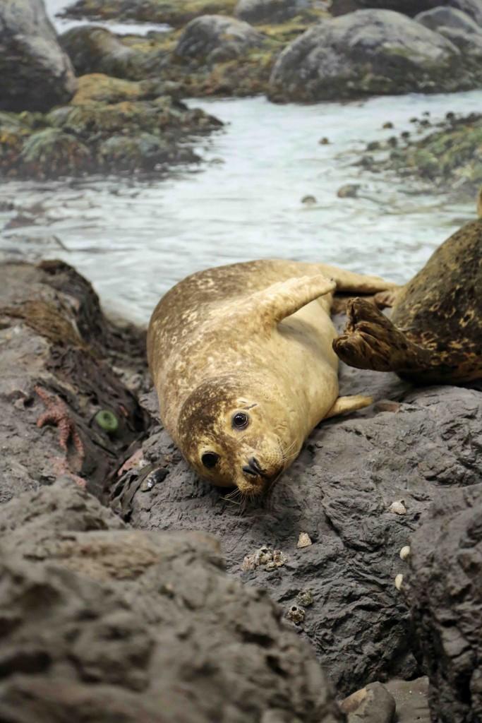 Blog Seal at Royal BC Museum in Victoria BC