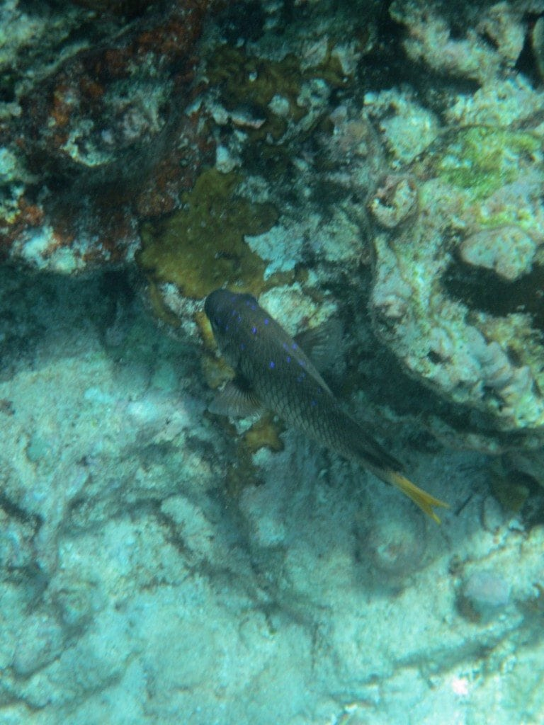 fish with blue spots in Belize