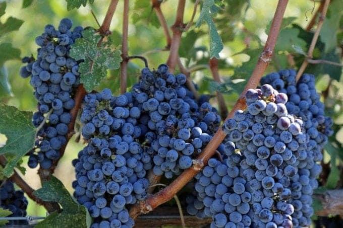 grapes on vine at Va Piano Walla Walla
