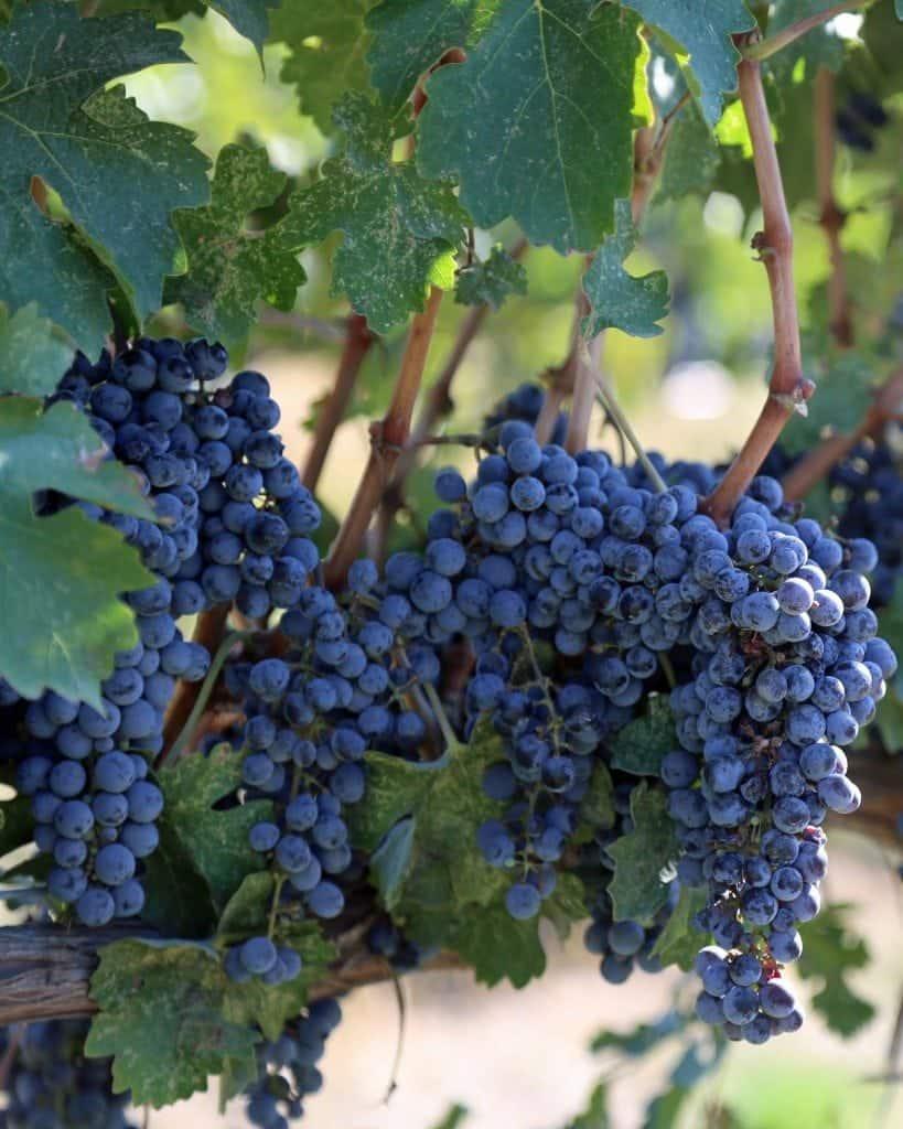 grapes ready at Va Piano Walla Walla