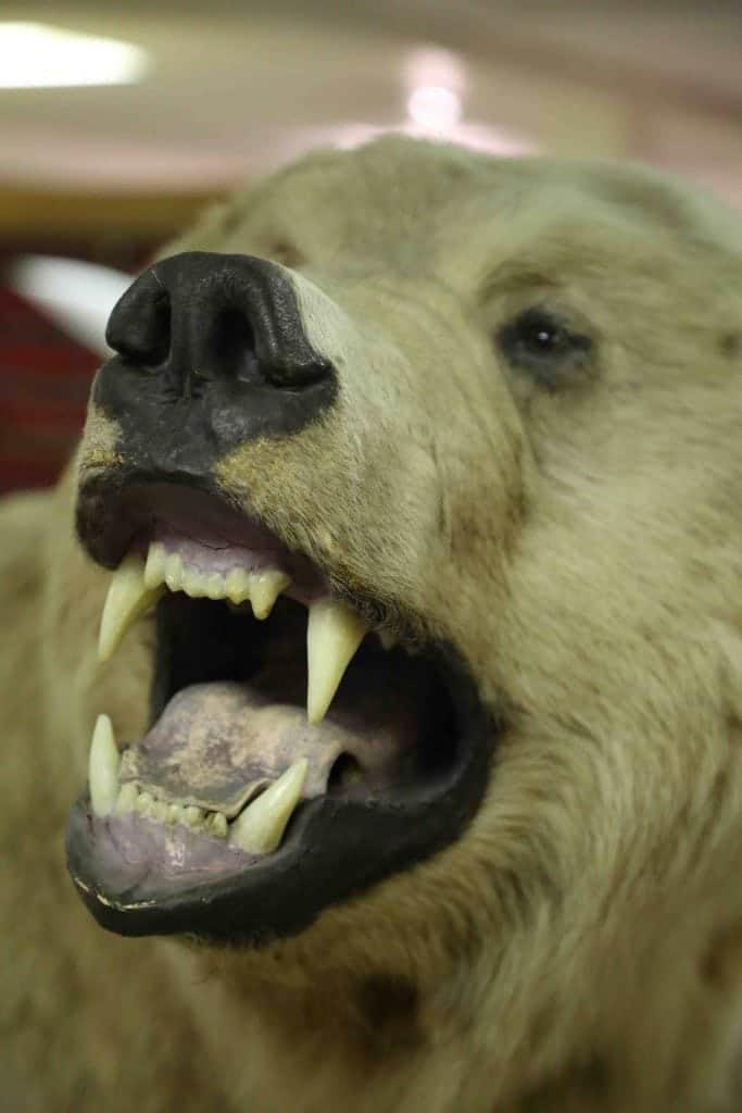 Blog Polar Bear at College of the Ozarks_edited-1