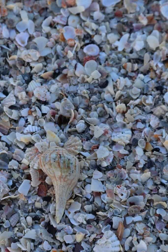 Blog seashells at Sanibel Island Florida