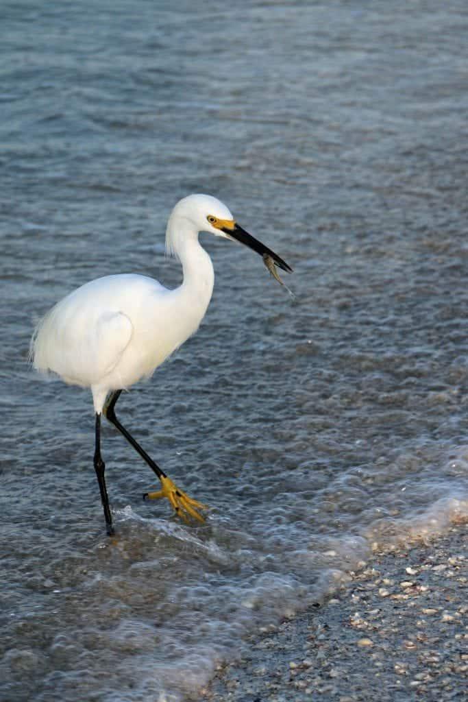 Egret with Fish Sanibel Island
