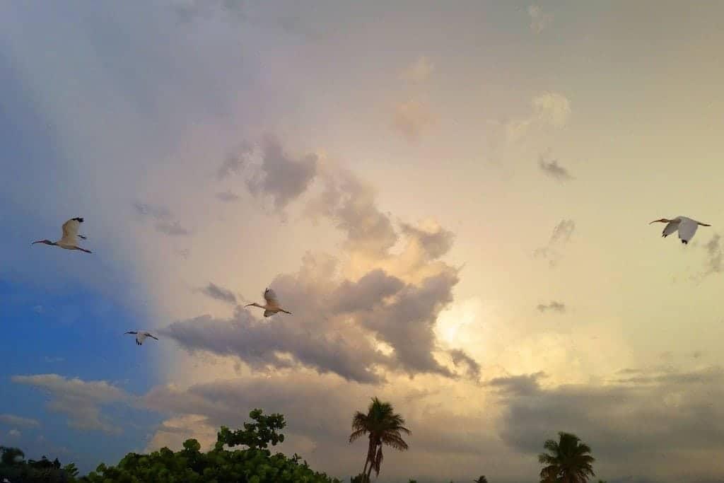Ibis flying overhead Sanibel Island