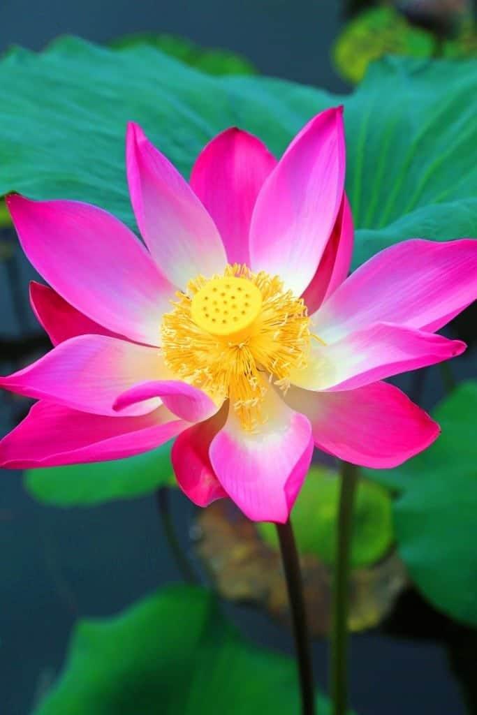 Lotus flower at Ubud Water Temple