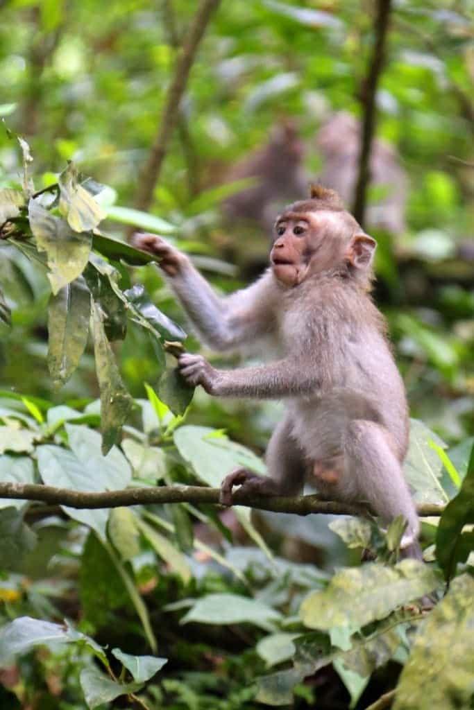 Baby monkey in tree at Ubud Monkey Forest