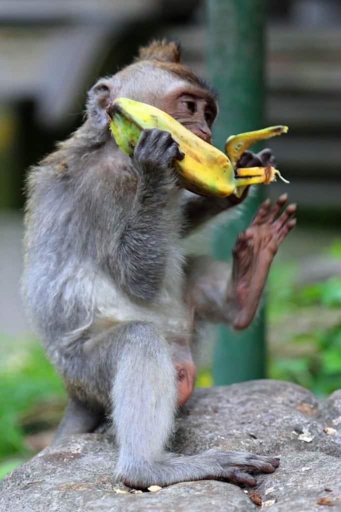 Baby monkey with baby banana at Ubud Monkey Forest Bali