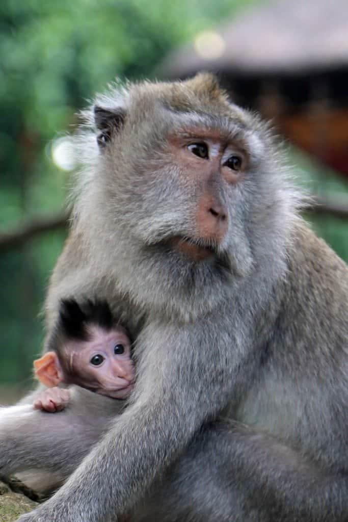 Mom and baby monkey at Ubud Monkey Forest