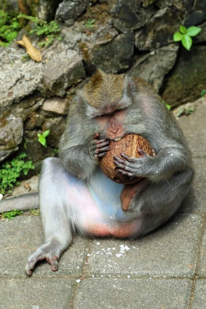 Monkey and coconut at Ubud Monkey Forest