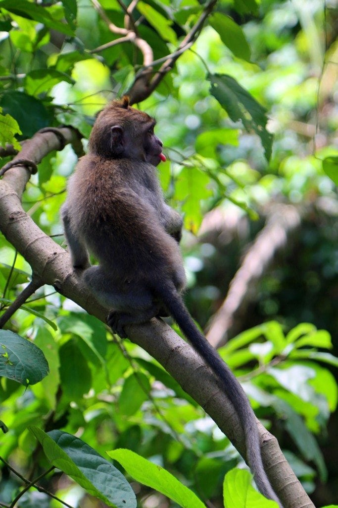 Monkey with tongue ut at Ubud Monkey Forest
