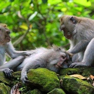 Three monkeys at Ubud Monkey Forest